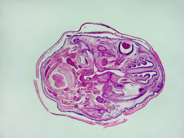A transverse section of a mouse head stained and mounted for microscopic examination. © Jubal Harshaw | Shutterstock