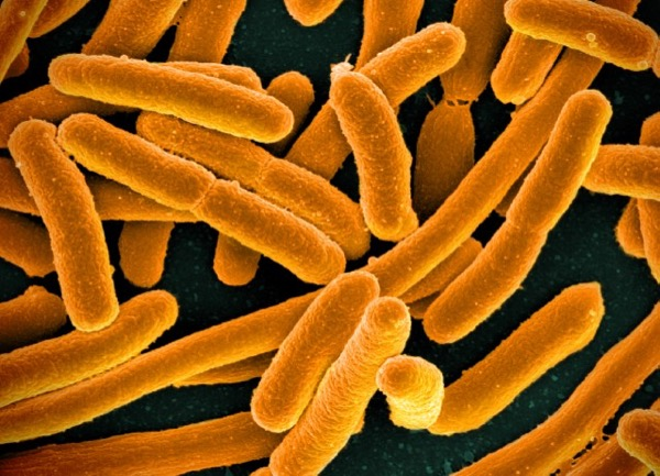 Microorganisms such as the bacteria Escherichia coli have been instrumental in developing the eld of biotechnology and genetic engineering. National Institute of Allergy and Infectious Diseases, National Institutes of Health | Released under CC BY 2.0